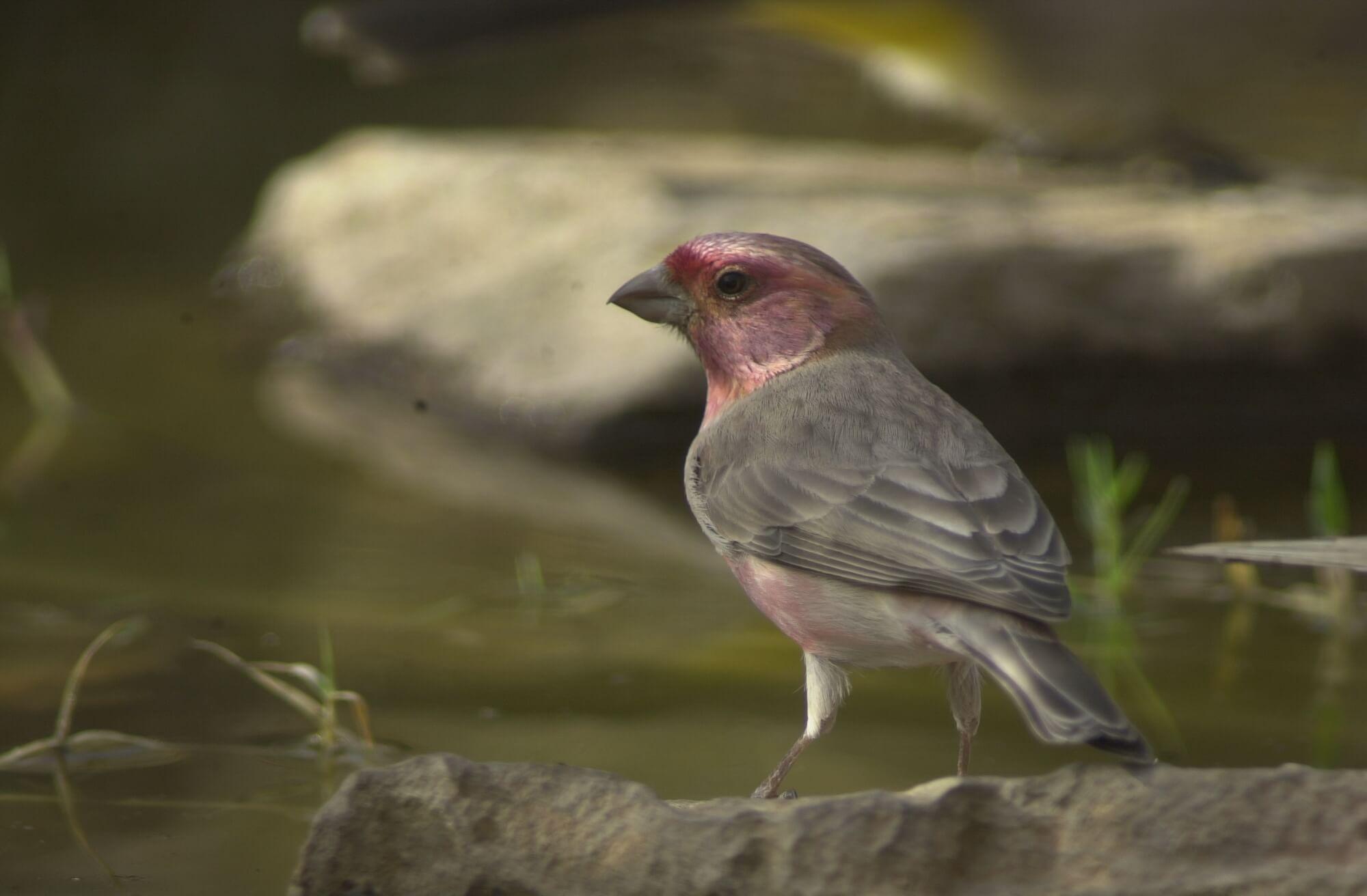 الطائر الوردي